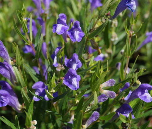 Produktbild Scutellaria baicalensis