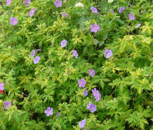 Produktbild Geranium Hybride 'Blue Sunrise' ®