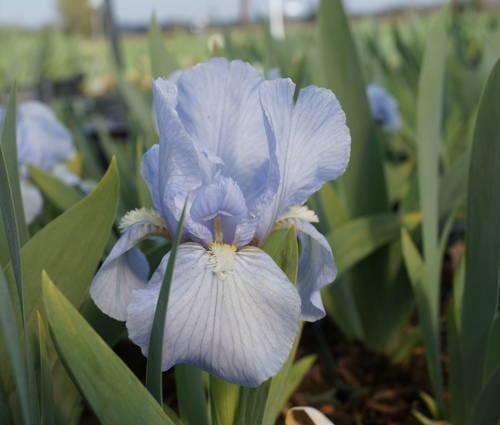 Produktbild Iris barbata-media 'Morgendämmerung'