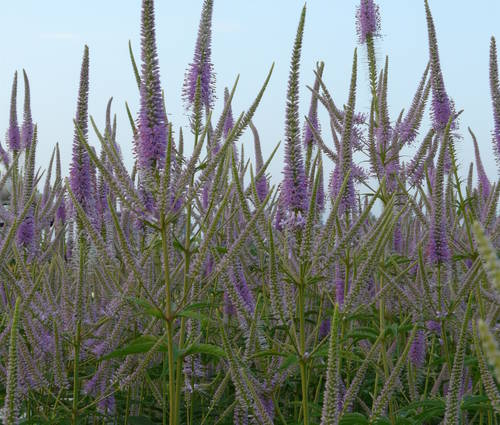 Produktbild Veronicastrum Hybride 'Fascination'