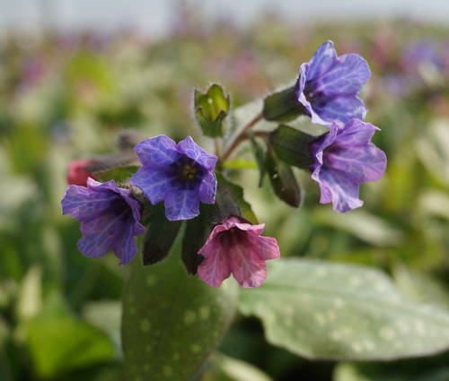 Produktbild Pulmonaria officinalis 'Wuppertal'