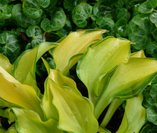 Produktbild Hosta Hybride 'Cracker Crumbs'