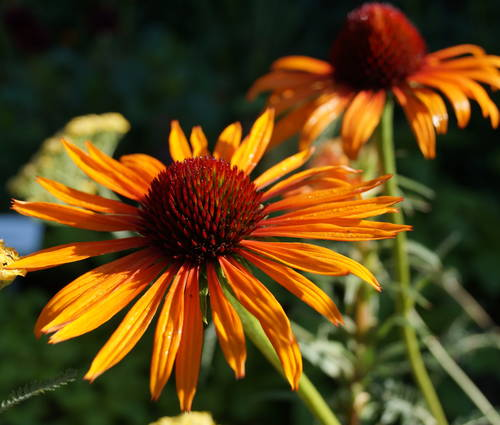 Produktbild Echinacea Hybride 'Flame Thrower' ®