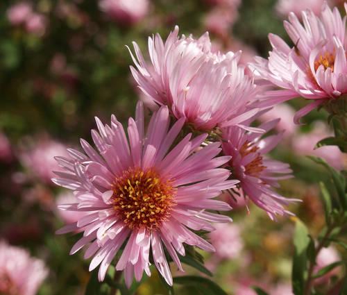 Produktbild Aster novae-angliae 'Rosa Sieger'