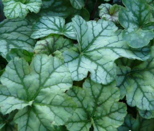 Produktbild Heuchera Hybride 'Mint Frost' ®
