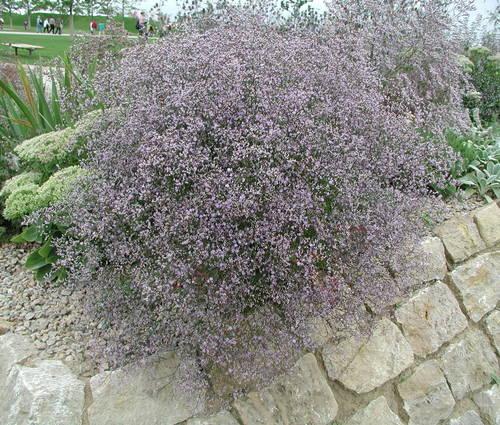 Produktbild Limonium latifolium 'Violetta'