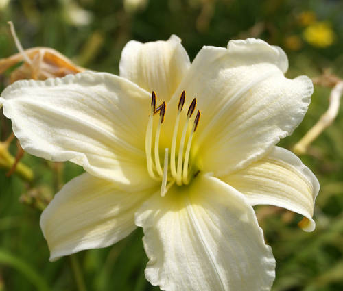 Produktbild Hemerocallis Hybride 'Dad's Best White'