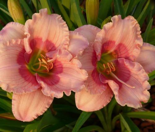 Produktbild Hemerocallis Hybride 'Janice Brown'