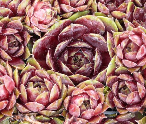 Produktbild Sempervivum Hybride 'Othello'