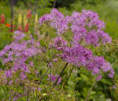 Produktbild Thalictrum Hybride 'Black Stockings'