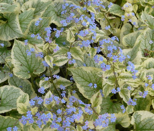 Produktbild Brunnera macrophylla 'King's Ransom' ®