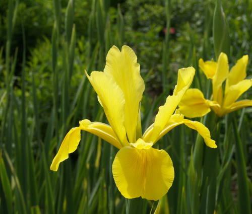 Produktbild Iris Spuria-Hybride 'Skyline'