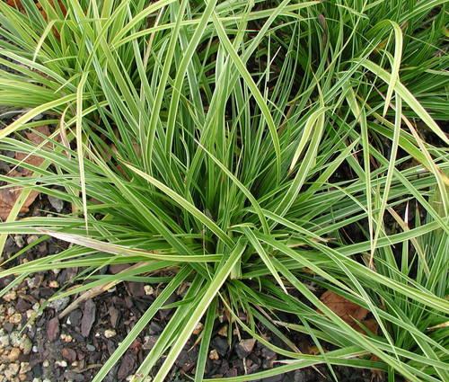 Produktbild Carex morrowii 'Variegata'