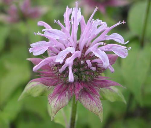 Produktbild Monarda Fistulosa-Hybride 'Elsie's Lavender'