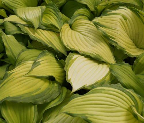 Produktbild Hosta Hybride 'Amalia' ®