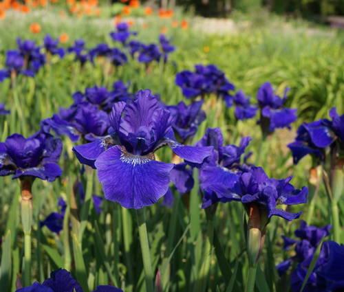 Produktbild Iris sibirica 'Prussian Blue'