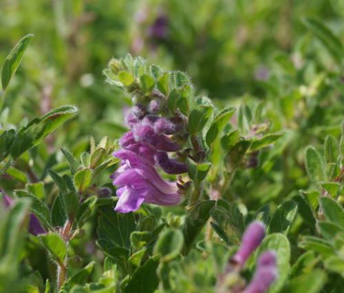 Produktbild Scutellaria pontica