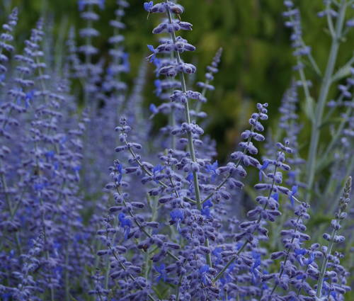 Produktbild Perovskia atriplicifolia 'Lacey Blue' ®