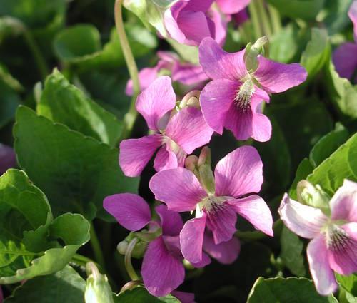 Produktbild Viola sororia 'Rubra'