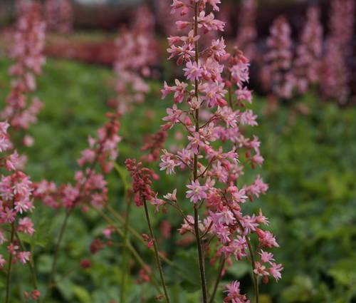 Produktbild Heucherella Hybride 'Pink Revolution' ®