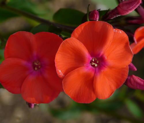 Produktbild Phlox paniculata 'Freudenfeuer'