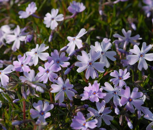 Produktbild Phlox subulata 'Emerald Cushion Blue'