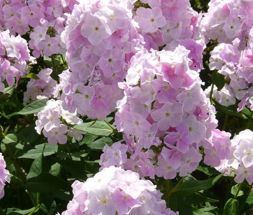 Produktbild Phlox paniculata 'Apfelblüte'