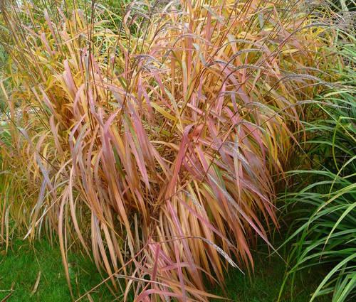 Produktbild Miscanthus sinensis var. purpurascens 'Herkules'