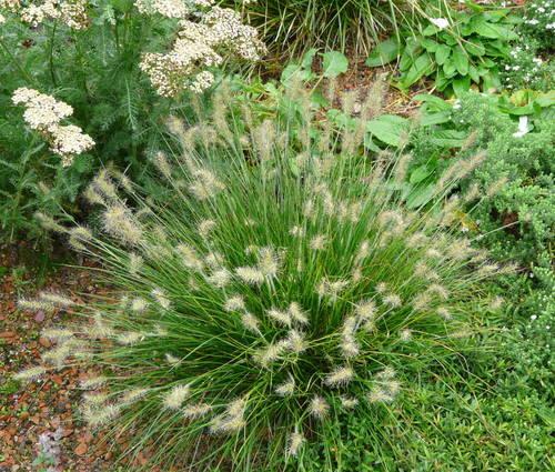 Produktbild Pennisetum alopecuroides 'Little Bunny'