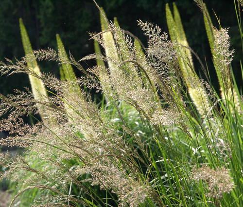 Produktbild Calamagrostis varia