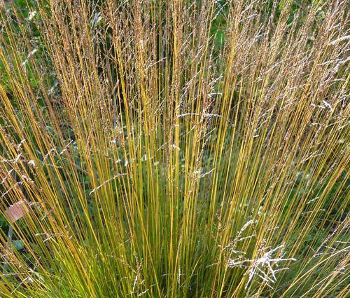 Produktbild Molinia caerulea 'Dauerstrahl'