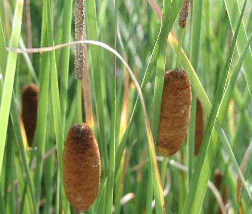 Produktbild Typha angustifolia