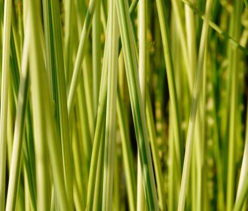 Produktbild Scirpus lacustris 'Albescens'