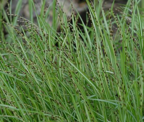 Produktbild Melica uniflora 'Variegata'