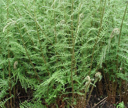 Produktbild Dryopteris filix-mas 'Linearis Polydactyla'