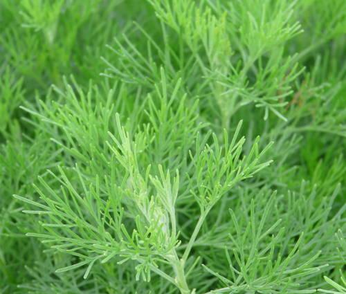 Produktbild Artemisia abrotanum 'Citrina'