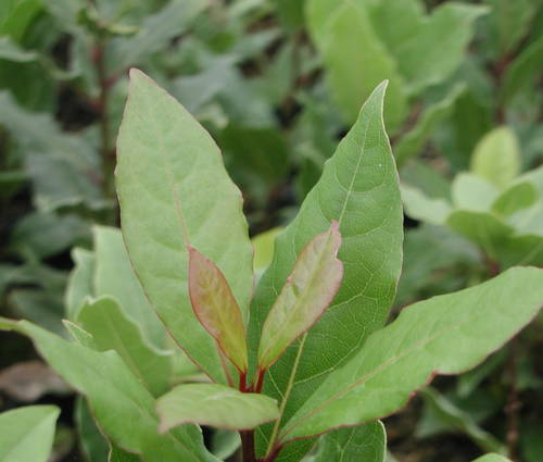 Produktbild Laurus nobilis