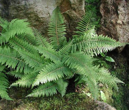 Produktbild Polystichum setiferum 'Proliferum'