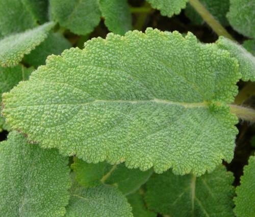 Produktbild Salvia sclarea