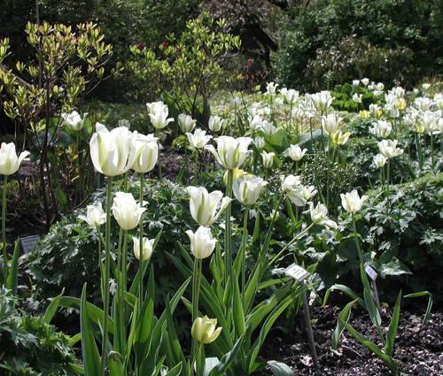 Produktbild Tulipa 'Spring Green'