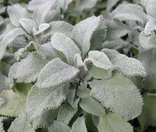 Produktbild Salvia officinalis 'Crispa'