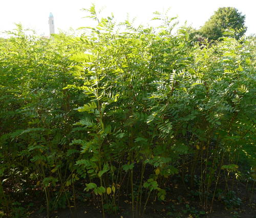Produktbild Glycyrrhiza glabra