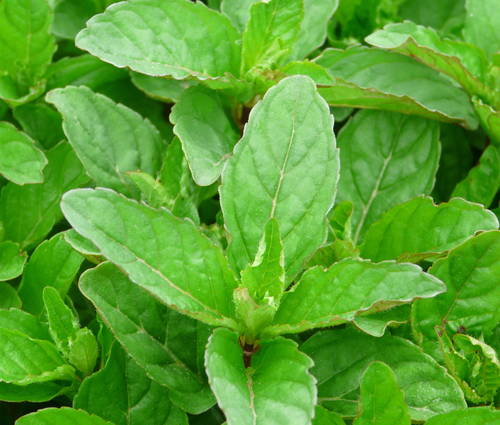 Produktbild Mentha species 'Cassis'