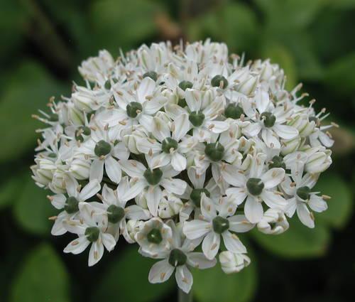 Produktbild Allium nigrum