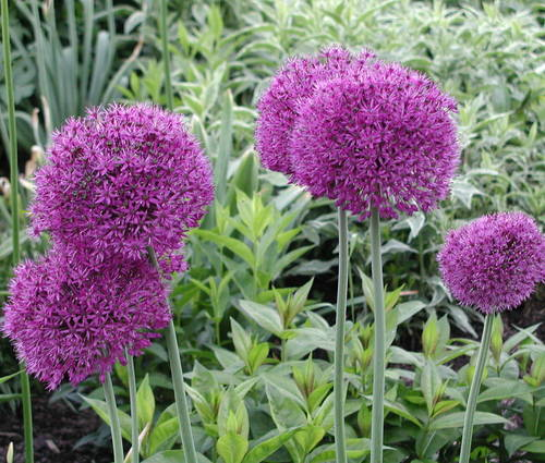 Produktbild Allium aflatunense 'Purple Sensation'