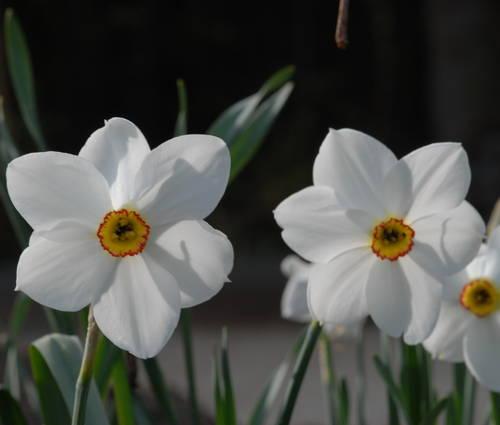 Produktbild Narcissus poeticus 'Actaea'