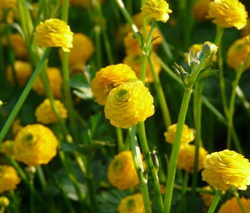 Produktbild Ranunculus acris 'Multiplex'
