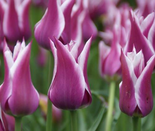 Produktbild Tulipa 'Ballade'