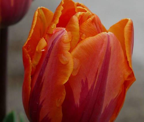 Produktbild Tulipa 'Prinses Irene'