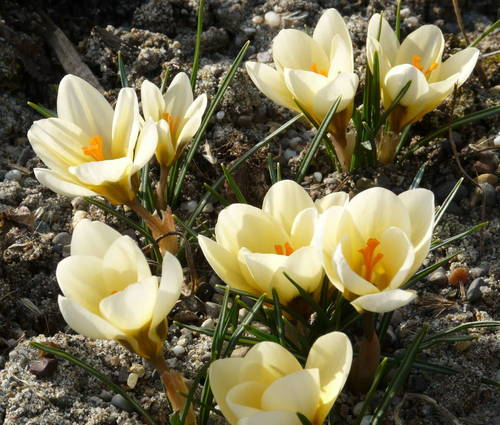 Produktbild Crocus chrysanthus 'Cream Beauty'